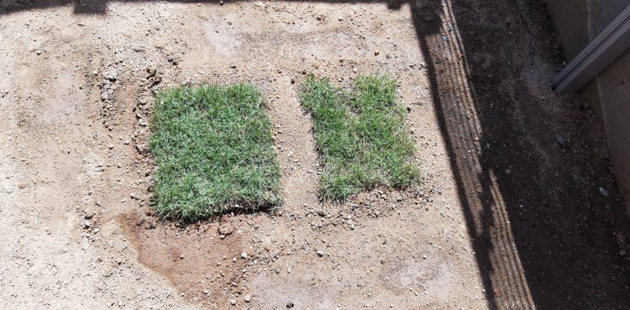 昨年秋に敷いた芝生のうち元気な2枚