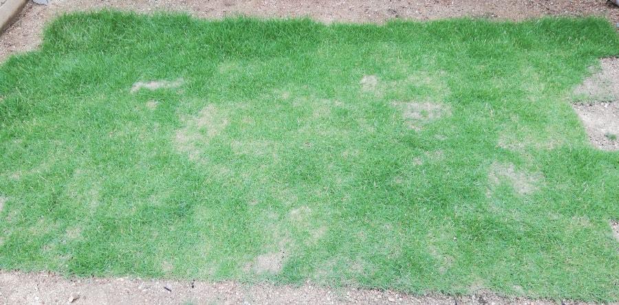 2ヶ月後には芝生はボーボーに。