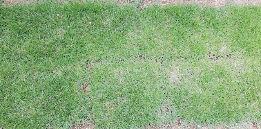 芝生もだいぶ根付いてきますた