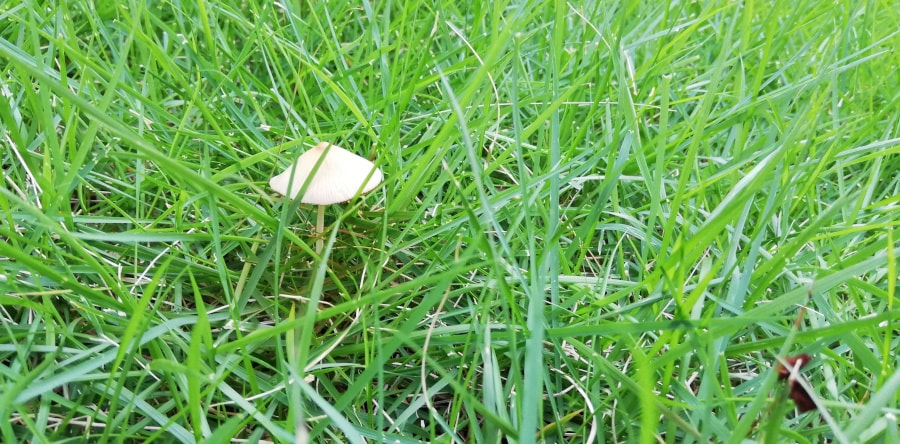 なんか芝生にキノコが生えてる・・・
